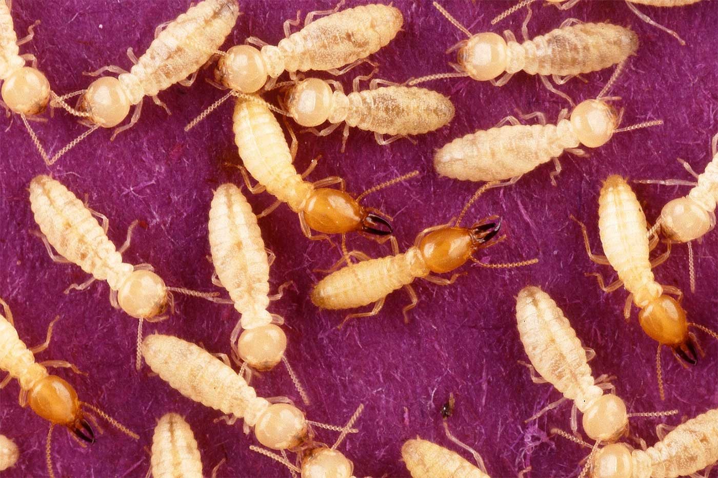 Termites Coptotermes - Photo Scott Bauer Public-domain